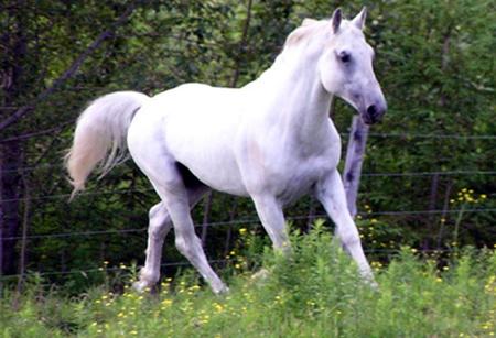 caballo-lippizzano-blanco.jpg